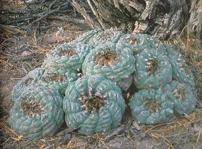 Lophophora Williamsii, El Oso, Coahuila+