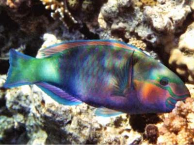Mez-D8-Bullethead Parrotfish-Chlorurus Sordidus 2