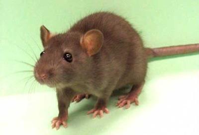 Rat 0