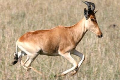 Bubal-Hartebeest