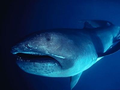 Megamouth Shark 2