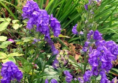 Aconitum-Perennial