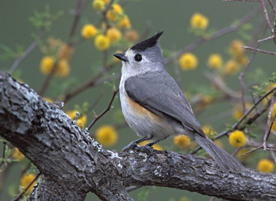 Black-Crested-Titmouse-F1
