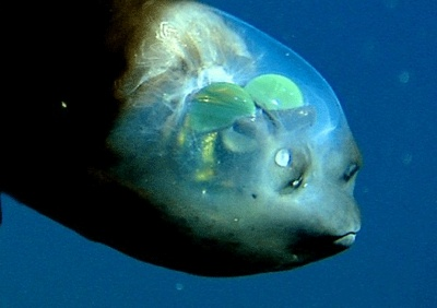 Barreleye-Fish
