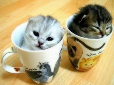 Teacup-Persian-Cats