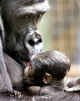 070314 Gorilla Vmed 11A.Widec