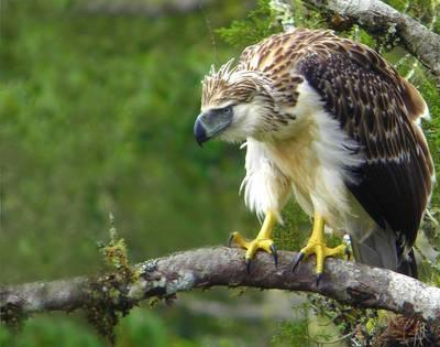 B Philippine Eagle 2.Jpg