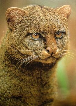 Favorite 4 - Jaguarundi