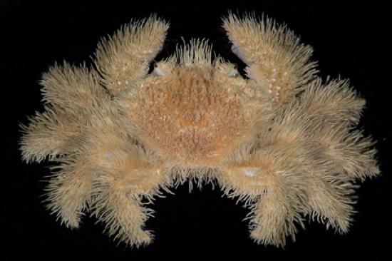Hairy-Crab