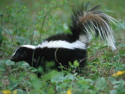Skunk-In-Grass-800X600