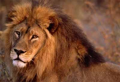 African-Lion-Closeup