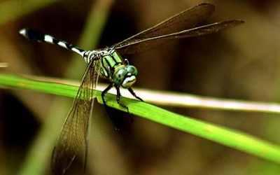 Dragonfly 1447186C