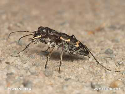 Heath-Tiger-Beetle-1588