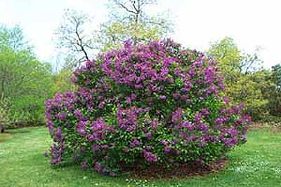Lilac-Bushes