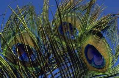 Peacock-Feathers-Michael-Mogensen