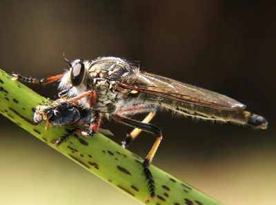 Robberfly Prey