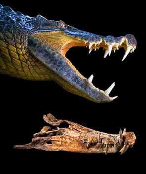 091119-04-Boar-Croc Big