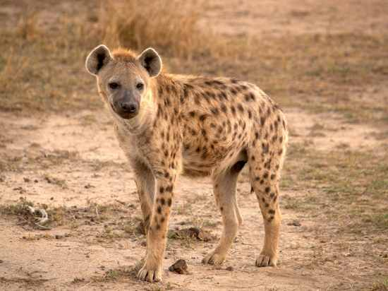 M 012-Spotted-Hyena