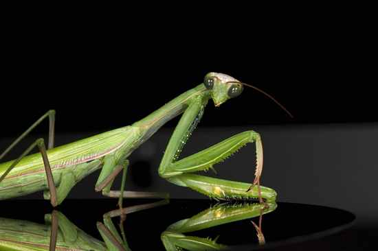 Praying Mantis Male European-38
