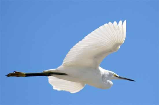 Snowy-Egret-2925-33Pc