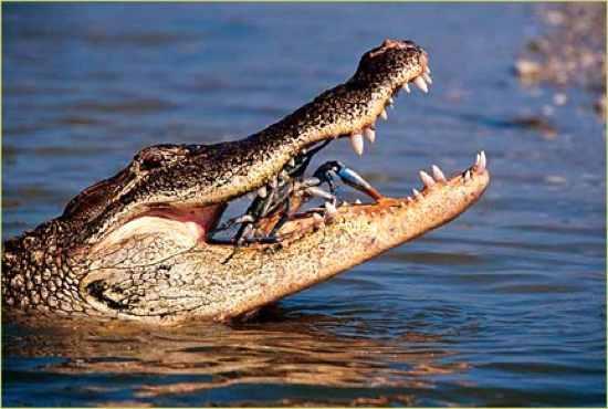 Aligator Bluecrab1.Ashx