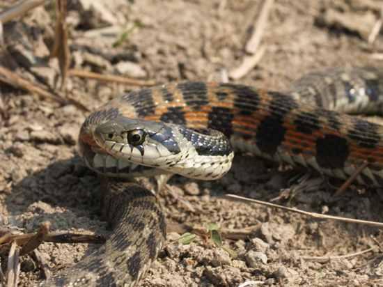 Rhabdophis Tigrinus05