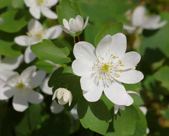 Rue Anemone Thalictrum Thalictroides Flower 2479Px