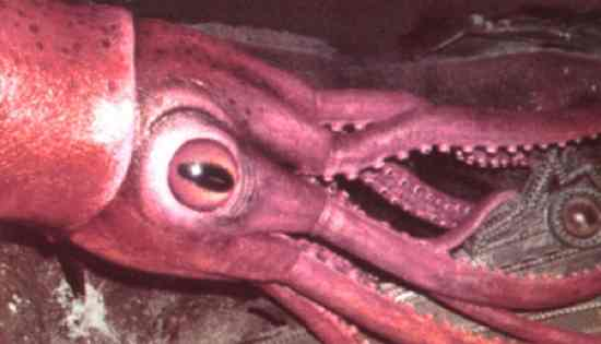 Colossal-Squid