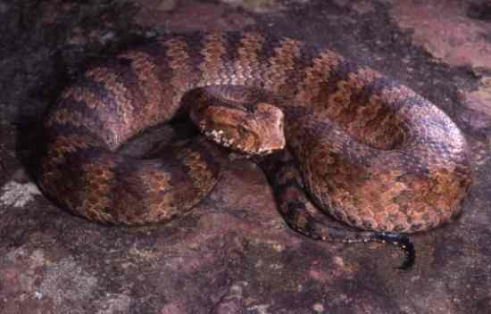 Death-Adder Big