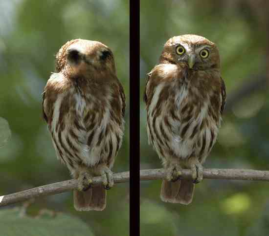 Species-Glaucidium-Brasilianum-2