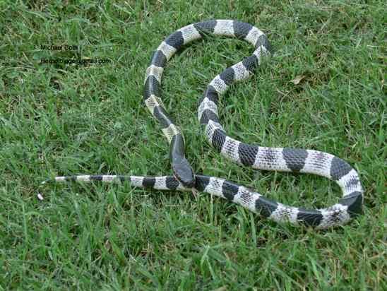 Venomous Snake Blue Krait