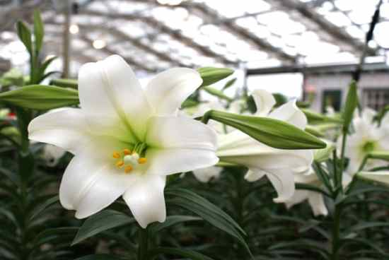 Easter-Lily-2