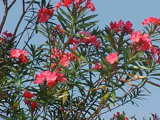 Oleander01