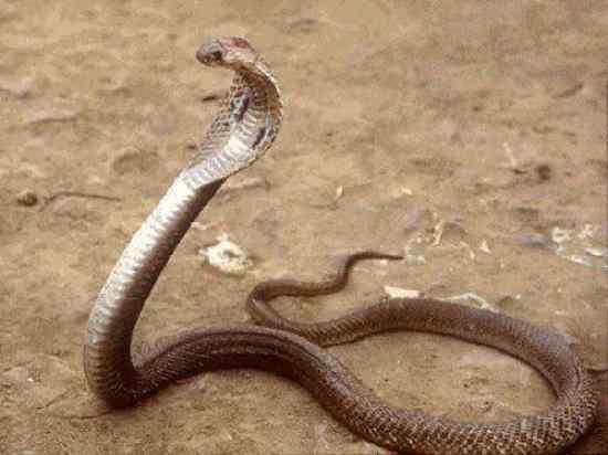 Philippine-Cobra