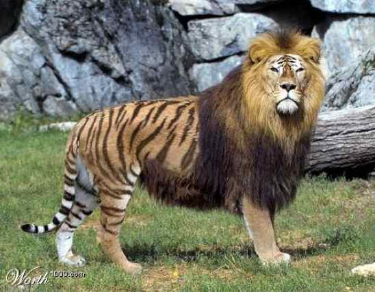 The Liger is a hybrid cross