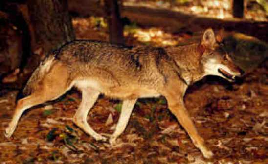 Wolf-Coyote1