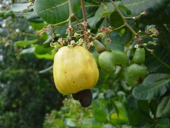 713897-Cashew-Fruit-And-Nut-0