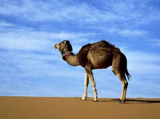 Arabian-Camel 223 600X450