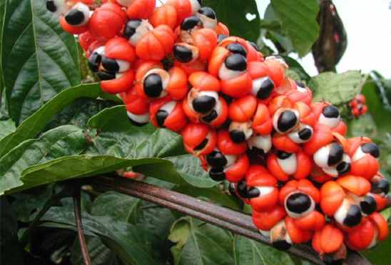 amazon rainforest plants. indigenous to the amazon rainforest guarana is scientifically known as paullinia cupana this creeping shrub produces red clusters of fruit plants