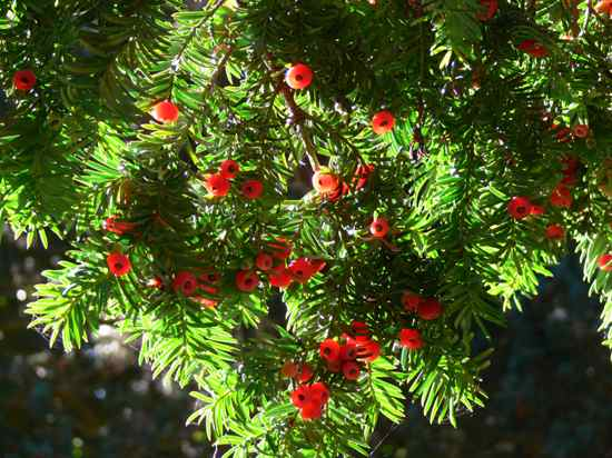 Cis-Yew Berries