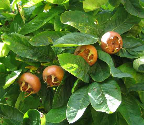 Medlar Pomes And Leaves