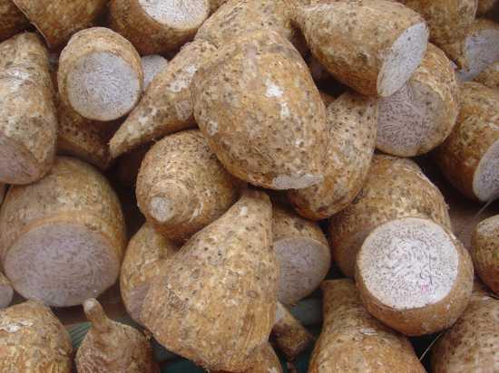 Colocasia Esculenta Dsc07801
