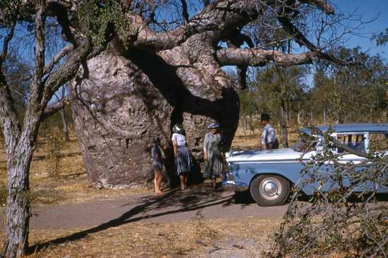 Prison Boab Tree In 1960