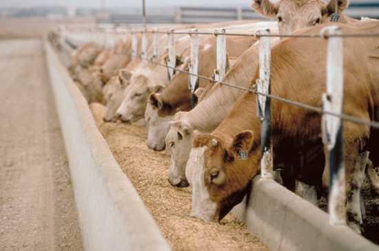 Feedlot-Cattle
