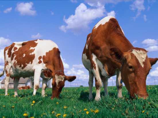 Stone-Lynn-M-Two-Cows-Grazing-In-A-Field
