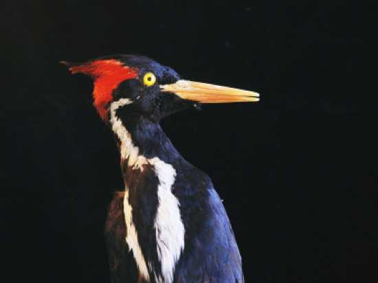 Sartore-Joel-Close-View-Of-An-Ivory-Billed-Woodpecker-Campephilus-Principalis