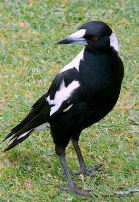 Cracticus Tibicen   Australian Magpie
