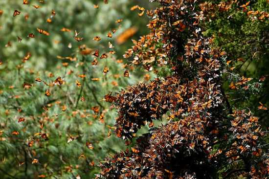 Monarch Butterfly Migration 4