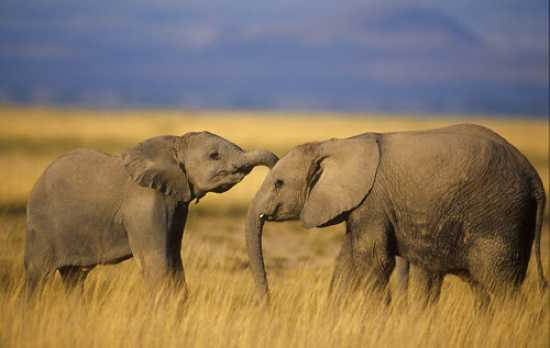 Top 10 Facts About Elephants Listverse