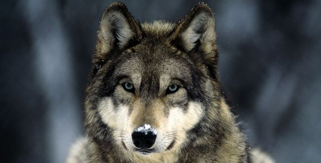 Top 10 Little Known Facts About Wolves